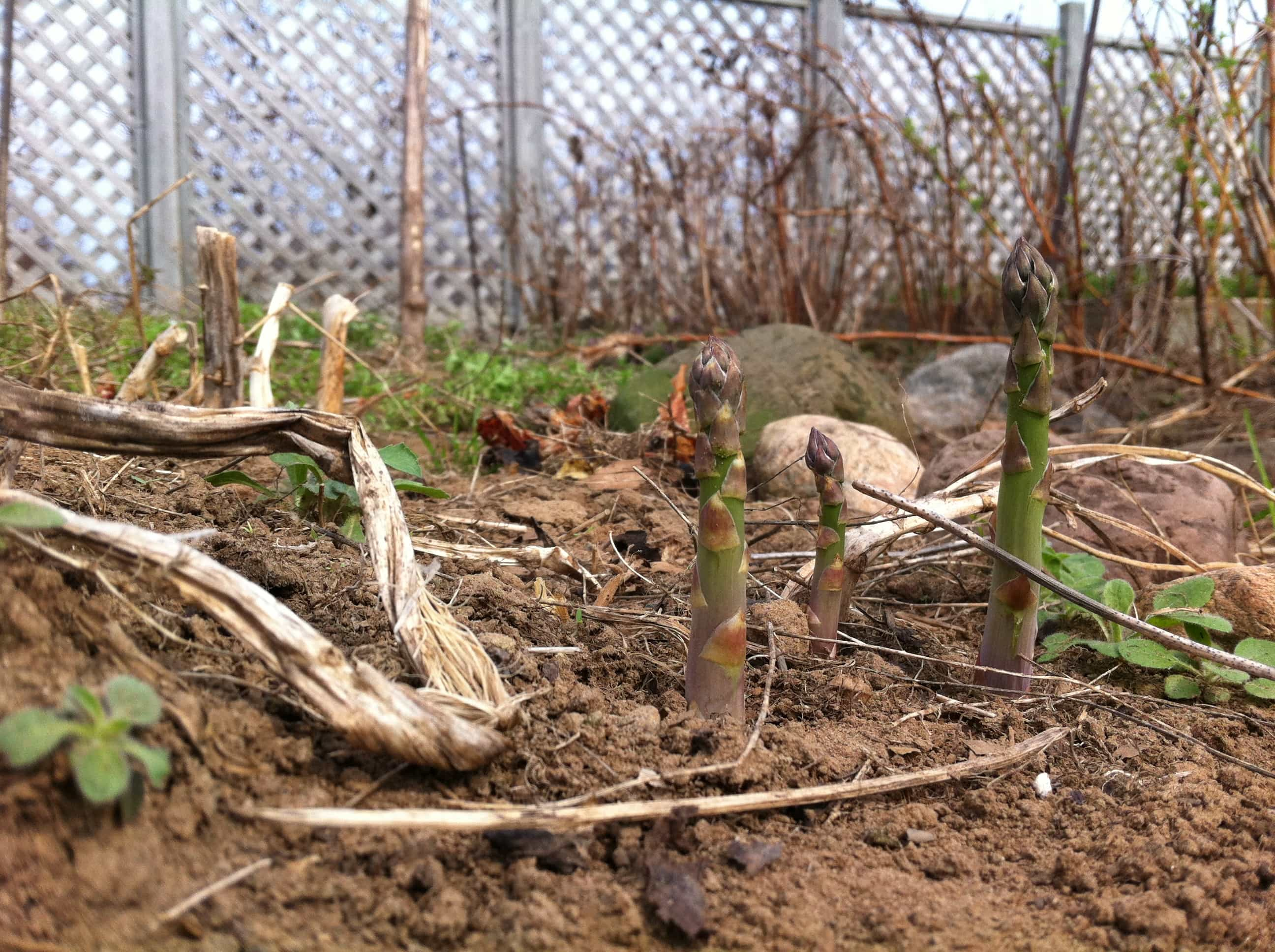 asparagus in March?