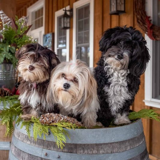Good Earth havanese pups on a barrel